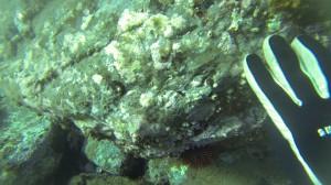 Maxillopoda,paracentrothussite3