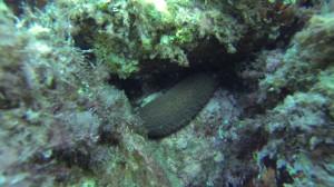 holothuridaesite4