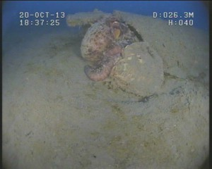 octopussite5