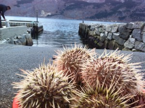 The sea urchin we sampled in the fjord